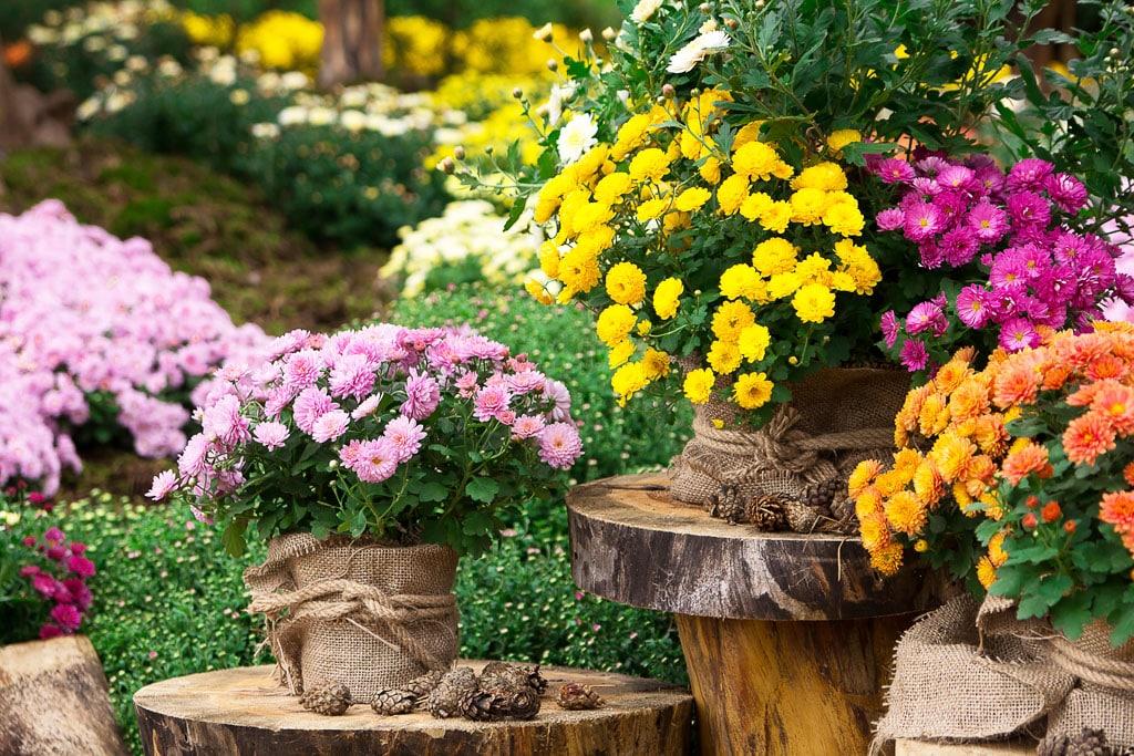 Nezabudnite na posledných mohykánov, vresy, chryzanteny, Prvé chladné novembrové dni sú plné spomienok na zosnulých a príprav vašej záhrady na zimu