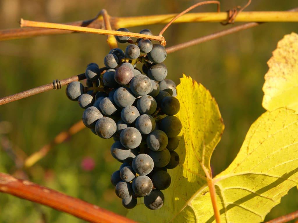 Pripravte na zimu aj svoje vinice, Prvé chladné novembrové dni sú plné spomienok na zosnulých a príprav vašej záhrady na zimu